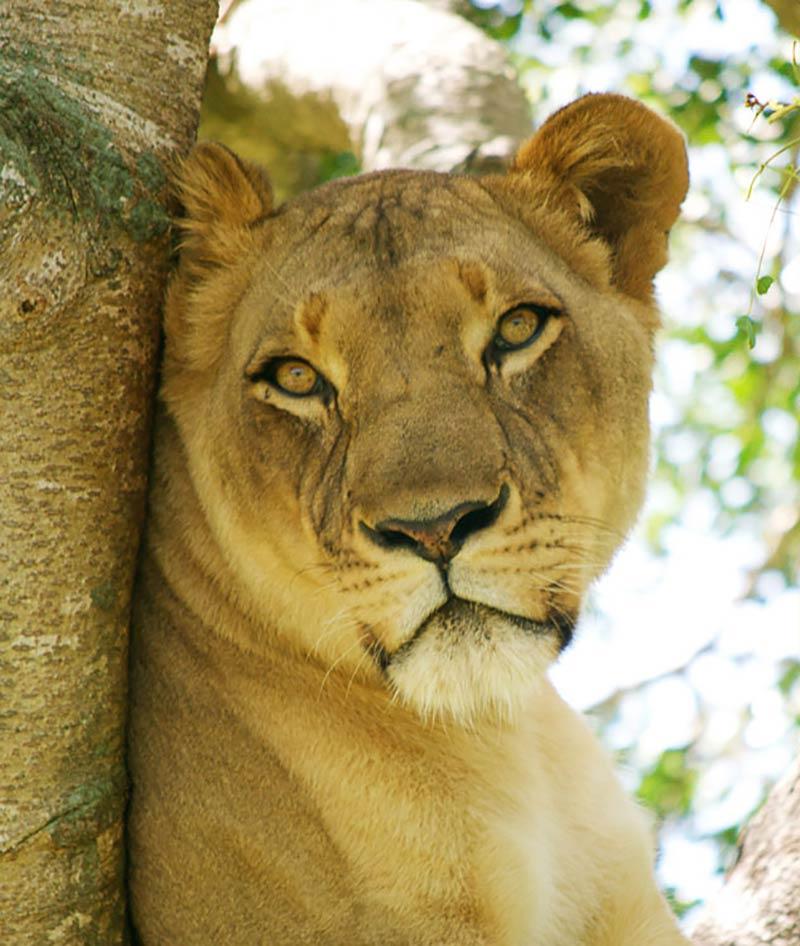 lion_hero