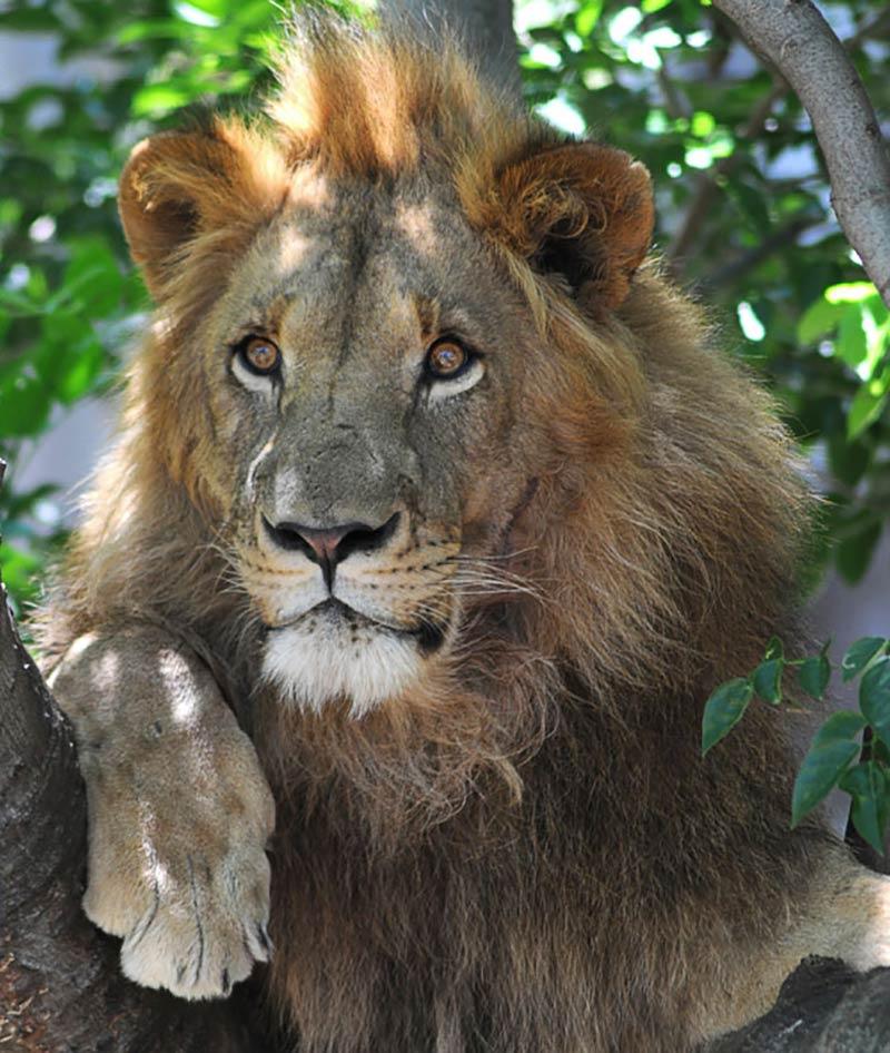 lion_hero3